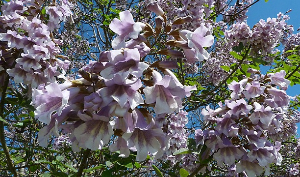 Flowers of the paulownia tree. — Carlos Calamar/Flickr