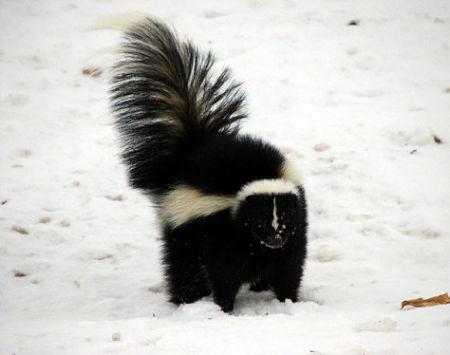 Beware the raised tail. Skunks can shoot their stink 15 feet. — Petrography/Flickr