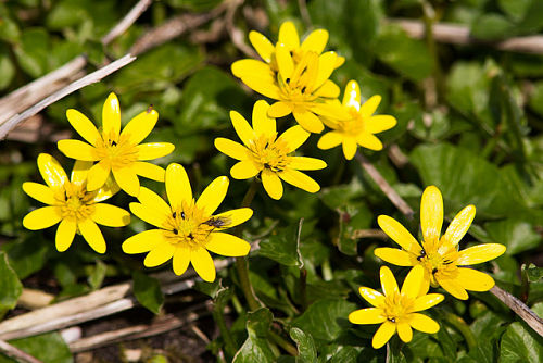 The lesser celandine, a deceptively pretty little thug. — Natural England/Flickr