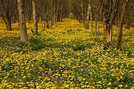 A solid blanket of celandine, smothering all in its path. — David Nutter/Flickr
