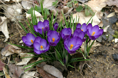 Crocus, rising like phoenix from the ashes of winter. — rstrohmh/Flickr