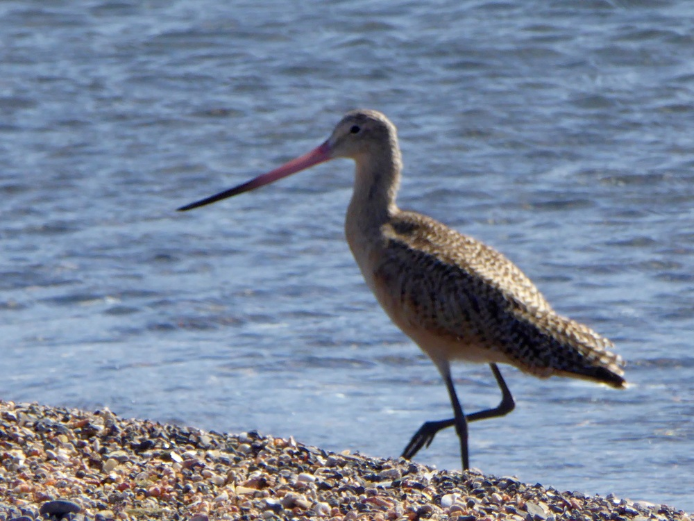 A Marbled Godwit finds lunch