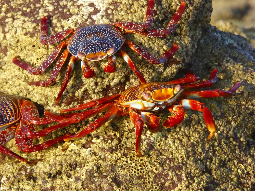 Sally Light Foot Crabs