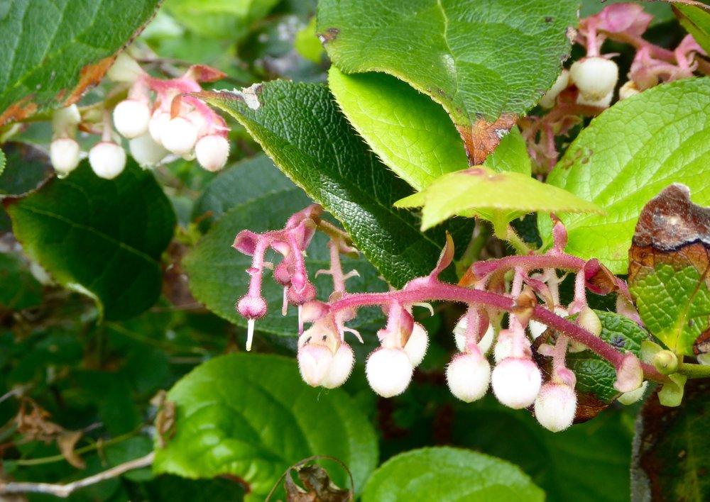 Salal forms  a dense wall of leaves and flowers. It was also used by the natives as an important food source.