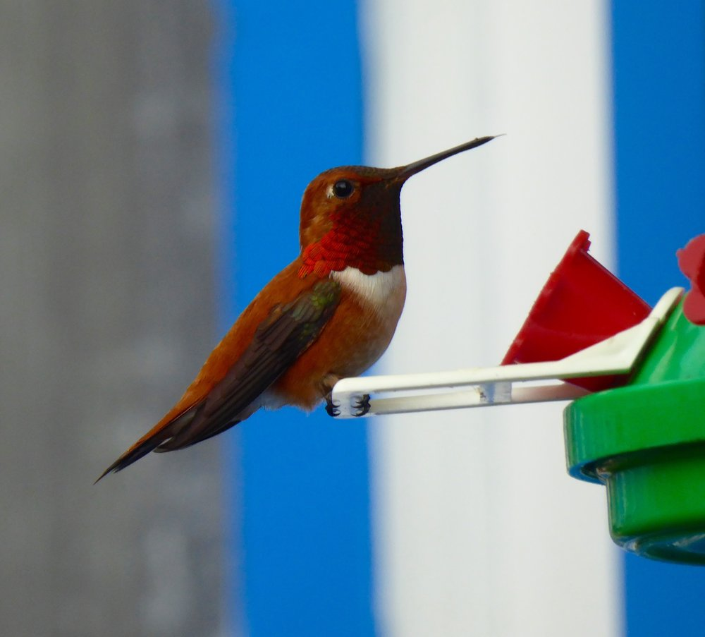 It male Rufous Hummingbird