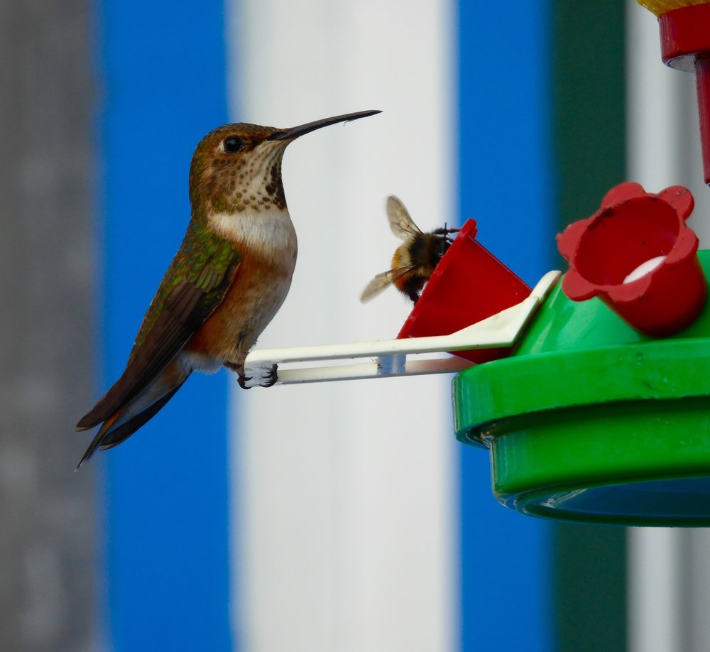 This is the female Rufous. Notice that she is sharing the feeder with a bee,