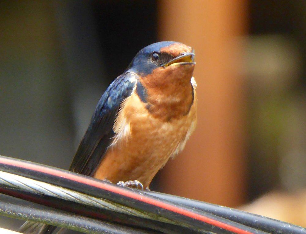 A barn swallow