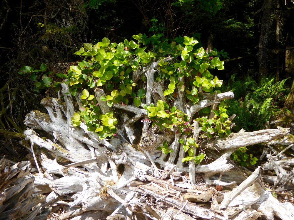 Salal Plant