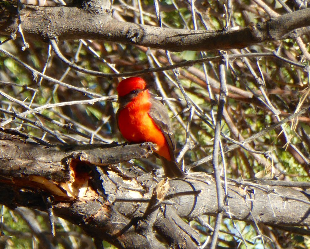 Vermillion Fly Catcher