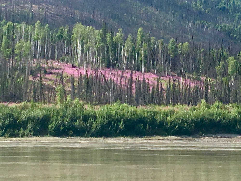 Must have been some major fires in this area to have this much fireweed in bloom.