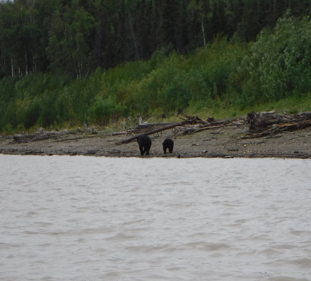 They did not notice us at first and shortly after drinking started to cross in front of us. The river was pretty wide and it would have been a long swim. Reinforced our knowledge that islands are not safe from bears. It was pretty cute as the cub was swimming right behind Mom when all of a sudden he got wind of us and reared his head out of the water.