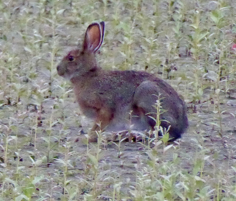 The hare was enjoying munching on the beach grass next to our tent. It was not as calm as yesterday, but still relatively good paddling conditions. We passed by more cliffs with falcons circling them. It was obvious that the young needed more landing practice as some attempts at landing were not successful.