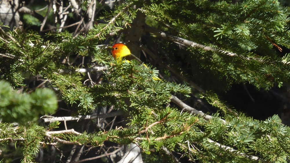 Western Tanager It was a first for both of us to see this bird.