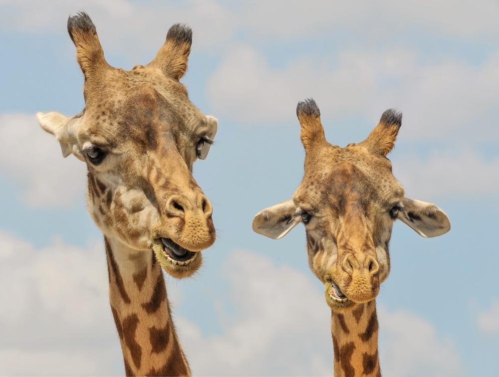 evolvher-giraffe.jpg