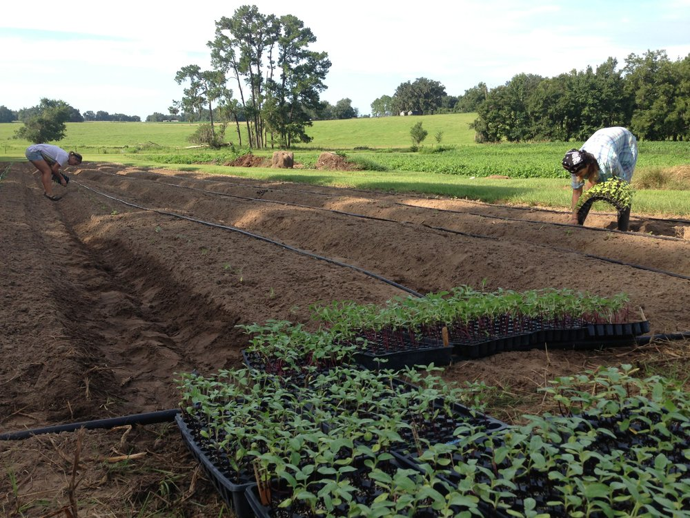 Transplanting sunflowers at Swallowtail Farm. Over 1,000 transplanted by hand!!!