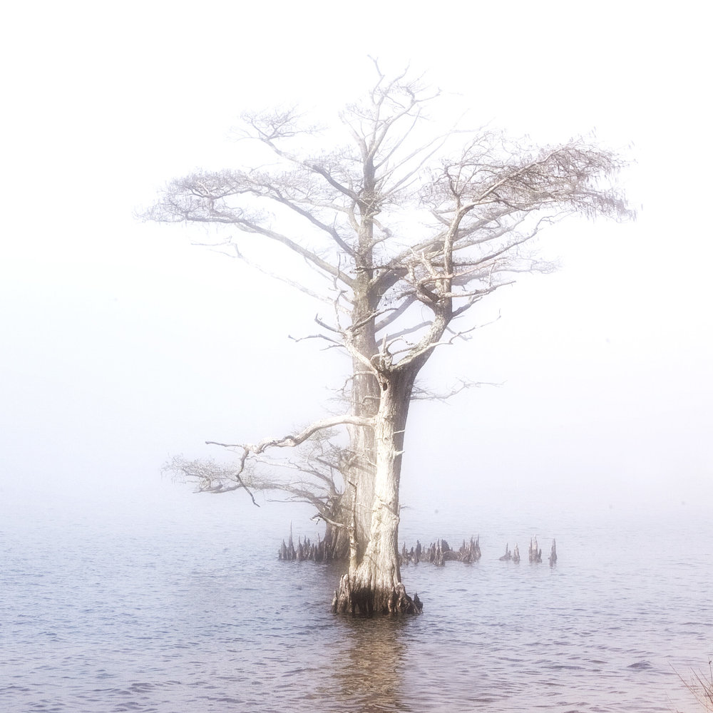 tree fog swamp powels pt copy.jpg