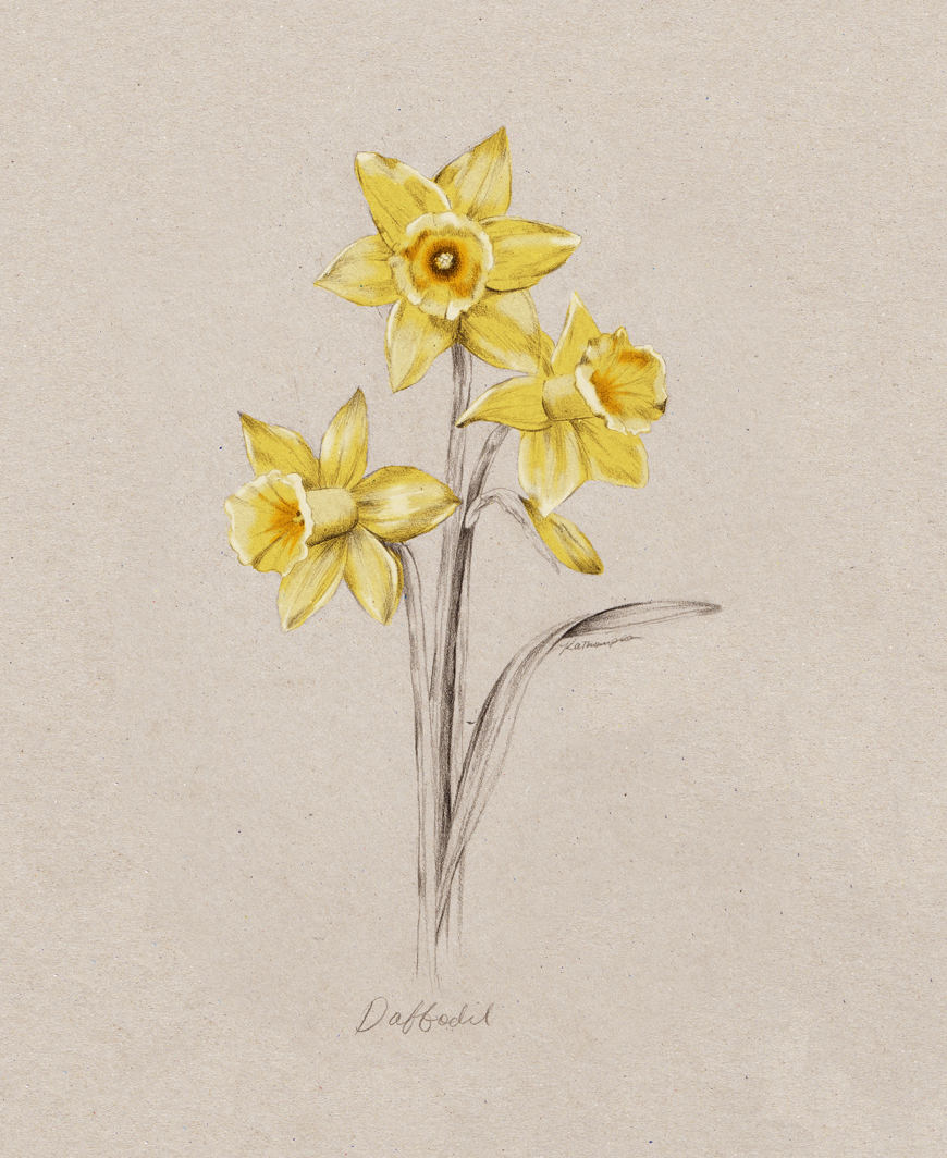 daffodil_Kelly_thompson_illustration_blog_botanical_art.jpg