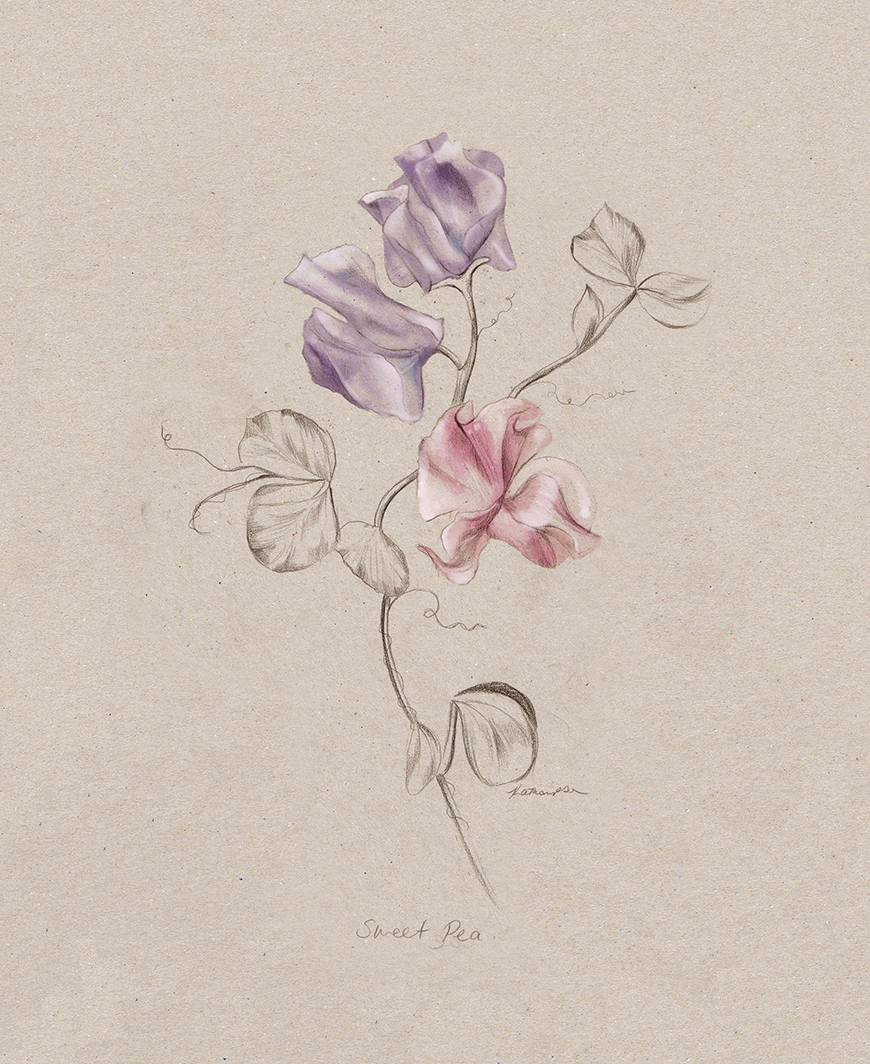 sweetpea_botanical_illustration_illustrator_Art_Kelly_thompson_melbourne_home_magazine.jpg
