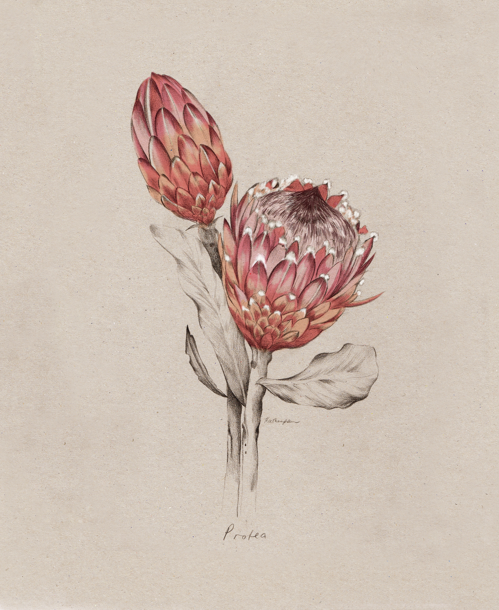 Kelly Thompson botanical Illustration blog
