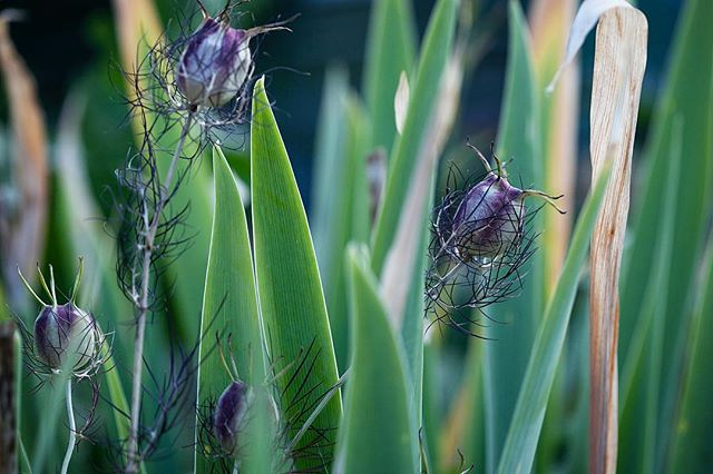 Rather keen on this photo I took earlier in the summer in a friend's wonderful garden in Cambridge. I don't know the name of the flower growing up between the reeds though, so if anyone has info... (apparently it's a nigella bud, thank you @Kai ri_takayan!!!)