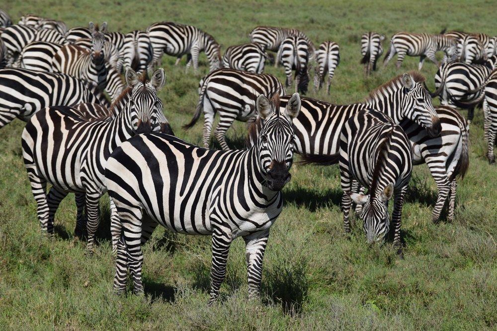 Tanzanian Zebras - Carla Meeske