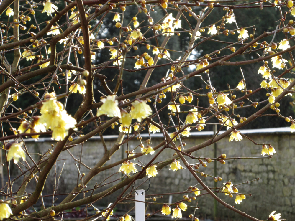 Wintersweet or Chumonanthus Praecox 'Lutea'.