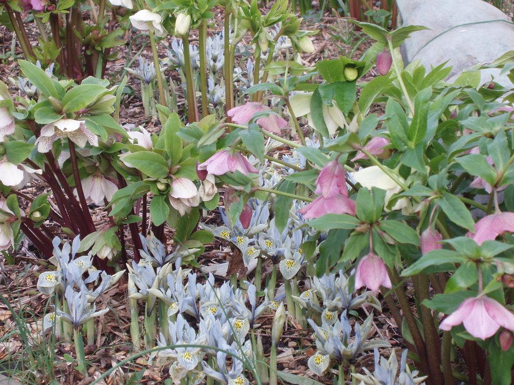 Oriental hellebores or Helleborus oprientalis and Iris 'Kathryn Hodgkin'