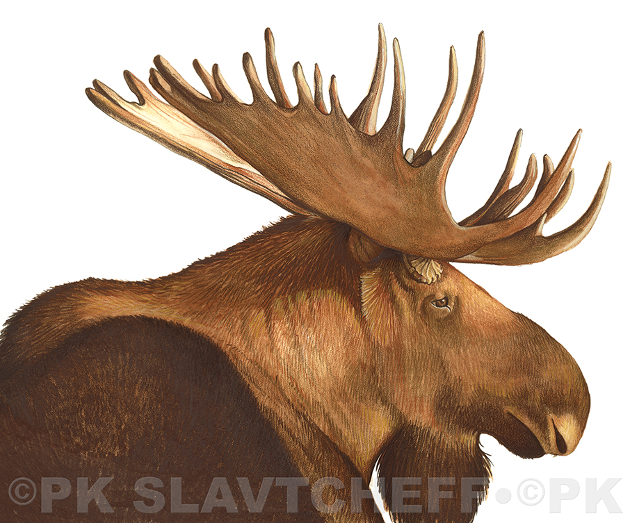 Patti King Slavtcheff_Illustration_Moose