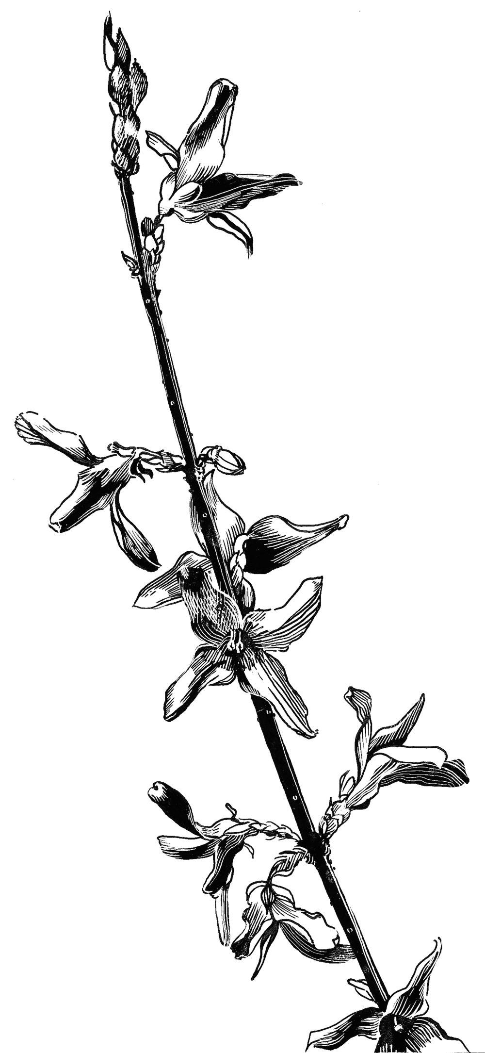 Patti King Slavtcheff_Black and White Illustration_Forsythia