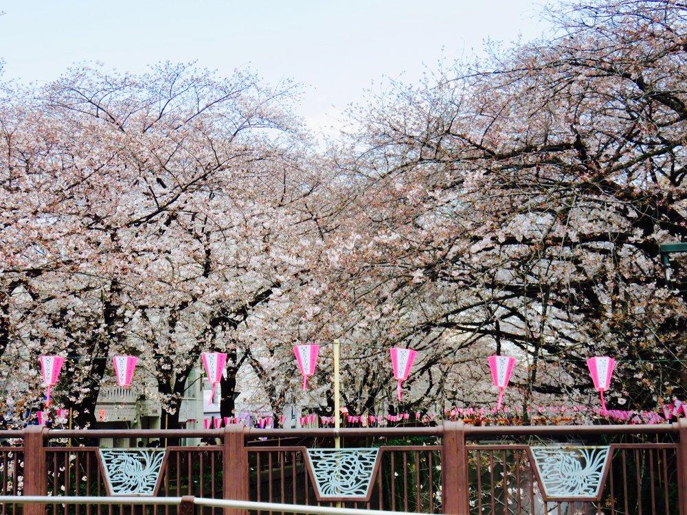 Sakura Festival - Tokyo, Japan - April 2017