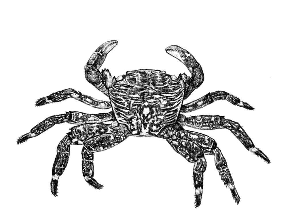 Molt of Lined Shore Crab
