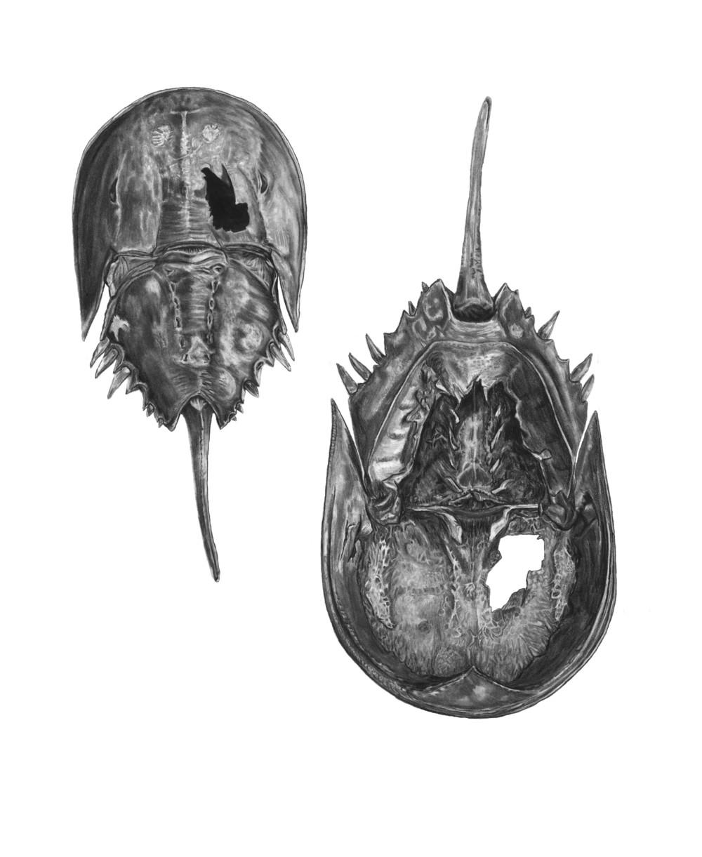 Horseshoe Crab Carapace