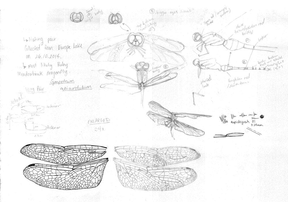 Dragonfly Sketches