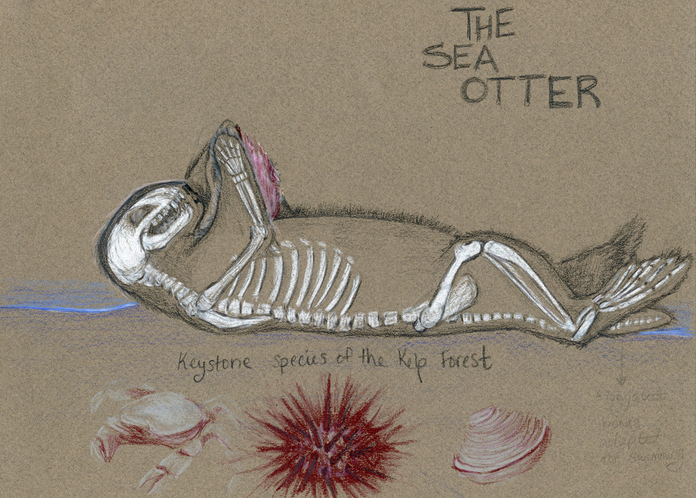 Sea Otter Skeleton