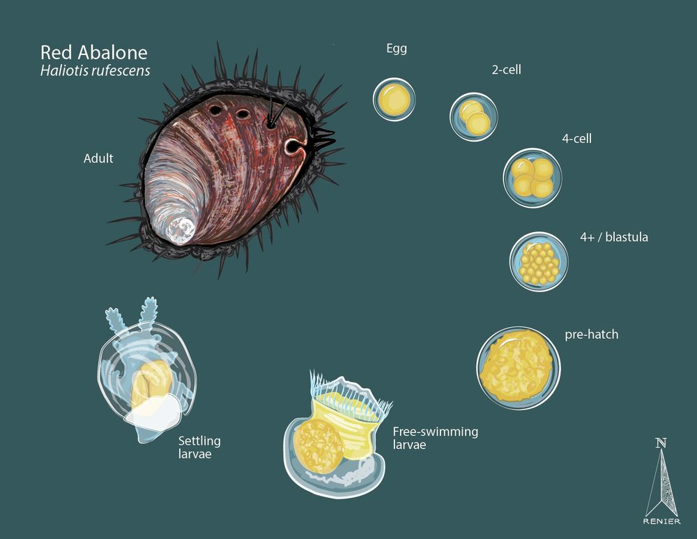Red Abalone Life Cycle