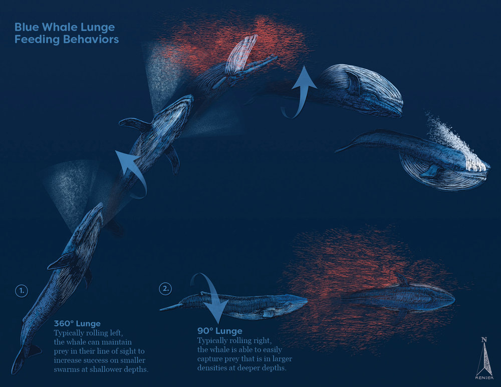 Lunge Feeding Behaviors of the Blue Whale