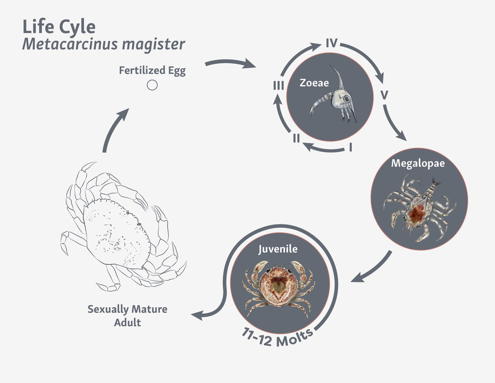 Metacarcinus magister Life Cycle