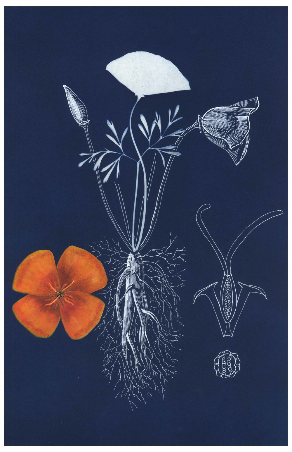 California Poppy Botanical Plate