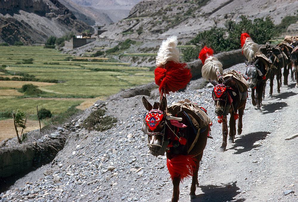 Nepal.Mustang.Tangbe.DonkeyCaravan.jpg