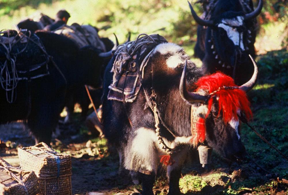 Bhutan.Gasa.Yaks.jpg
