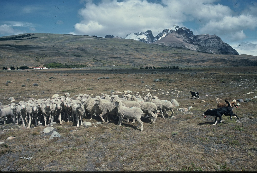 Patagonia.LagoViedma.EstanciaDosHermanos.Sheep:Dogs(1994).jpg