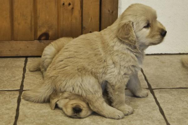 golden sitting on golden- cutepuppy.org.jpg