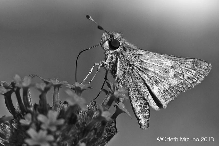 odeth_moth.jpg