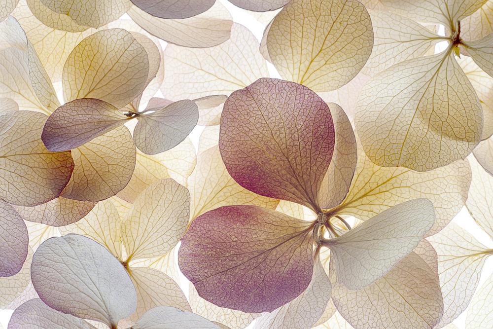 Watters_Botanical_A few Petals..jpg