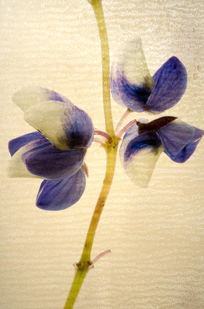 Watters_Botanical_Lupine.jpg