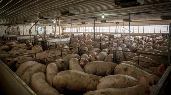 In an enclosed space with 1000s of pigs, squealing can hit 108 decibels, rendering workers deaf.