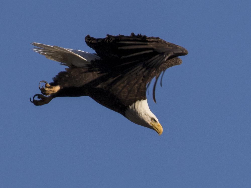 Bald Eagle Diving For Food