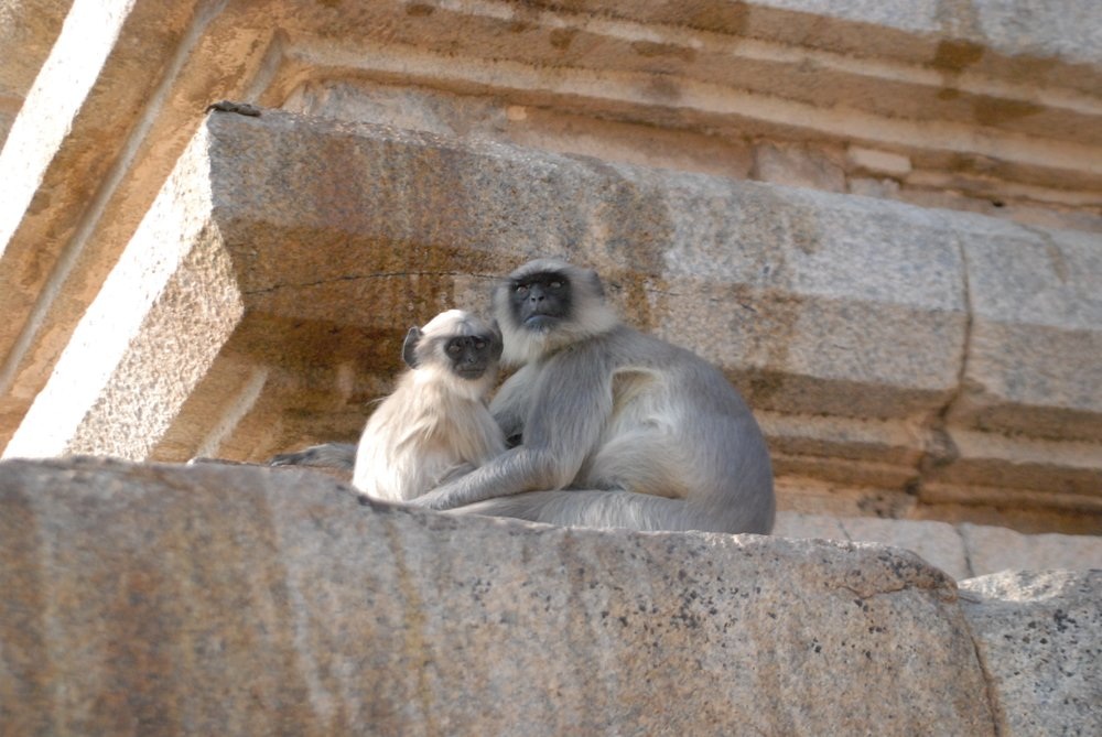 India- Monkeys at Shiva.jpg