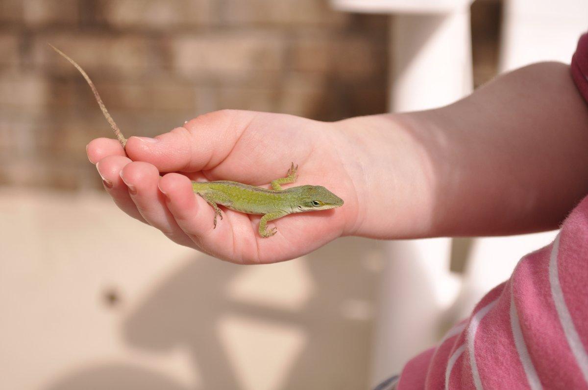 Harper's Lizard