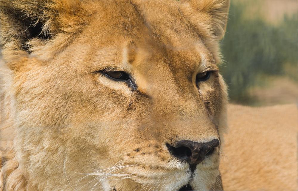 Female Lion.JPG